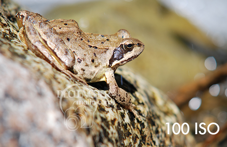 Grenouille_100_ISO