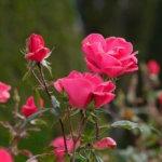Rose en gros plan lors d'un stage photo pour associations